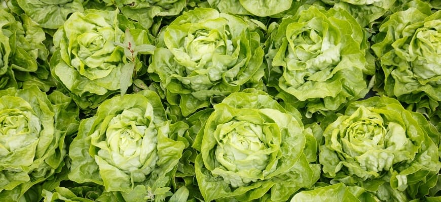 Closeup of lettuce heads collection