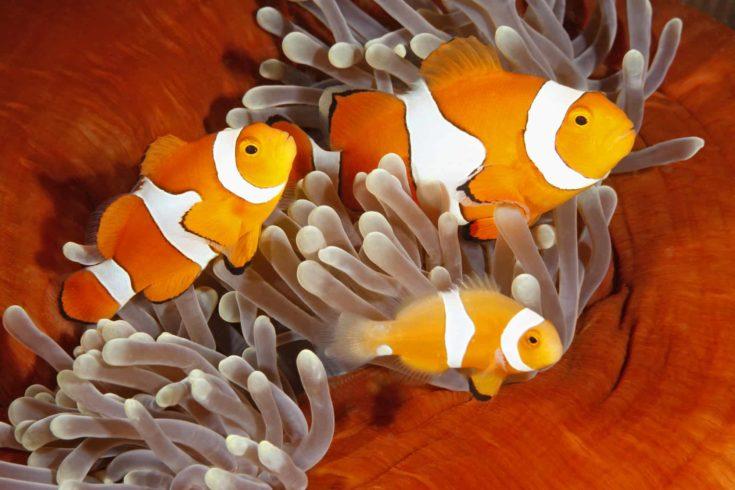 A family of Clown Fish Ocellaris. Uepi, Solomon Islands. Solomon Sea, Pacific Ocean