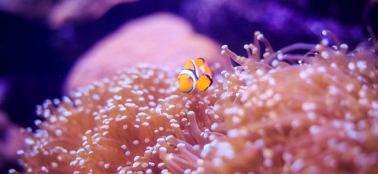 Picture of a clown fish under water
