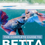 The Complete Guide to Betta Fish Fights - Pin