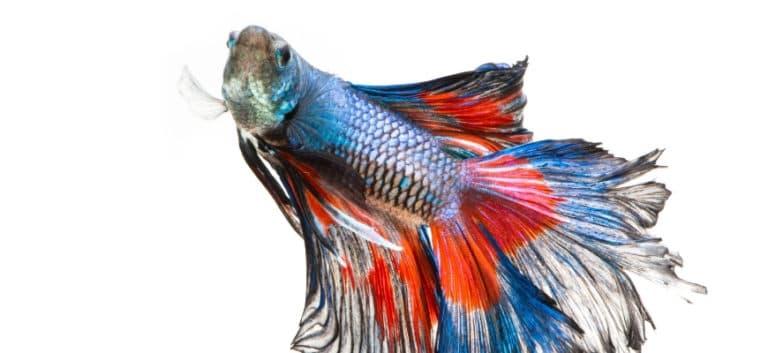 Aged betta fish in white background.