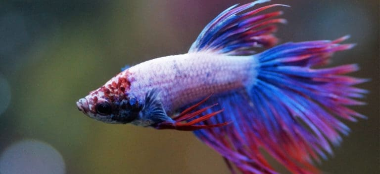focus shot of a betta in red and blue color