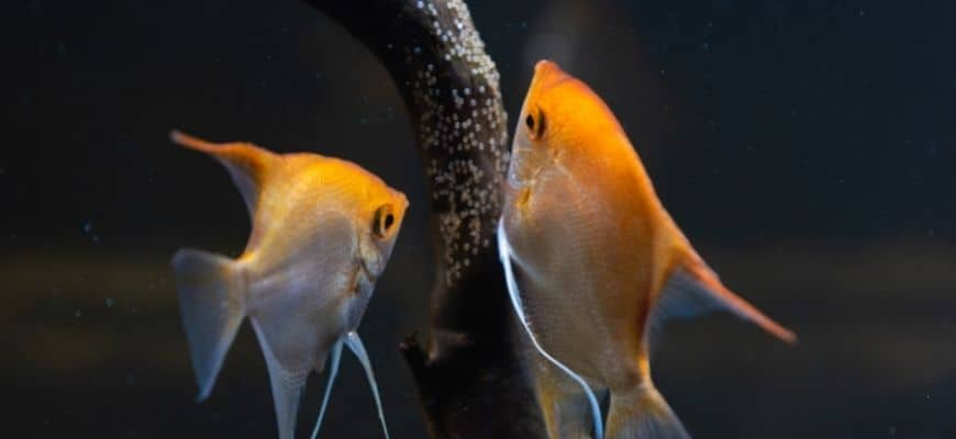 A pair of angel fish