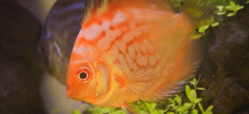 Orange Discuss Fish