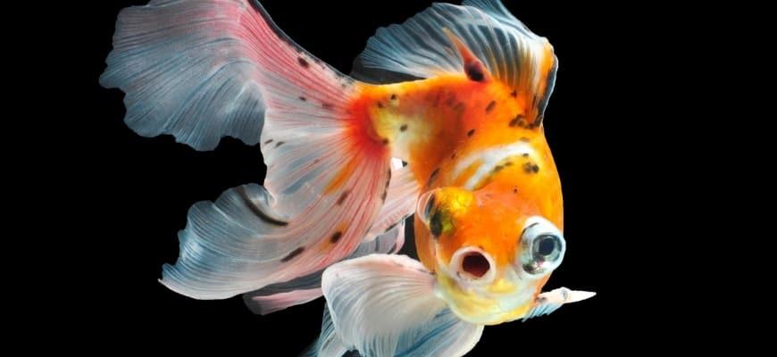 Featured Image - blackspots on goldfish