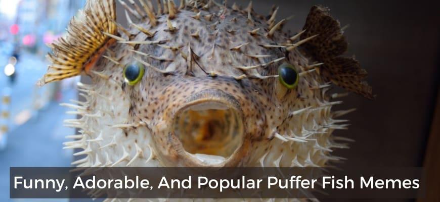 Puffer Fish Meme Featured Image