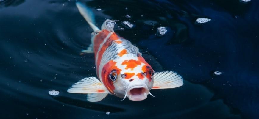 Koi Fish-featured image