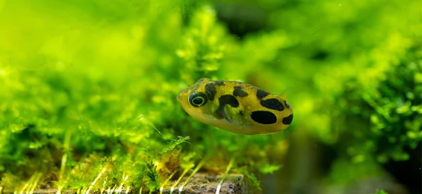Dwarf Puffer (Carinotetraodon travancoricus) swimming