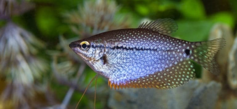 focus shot of a pearl gourami in blurry background