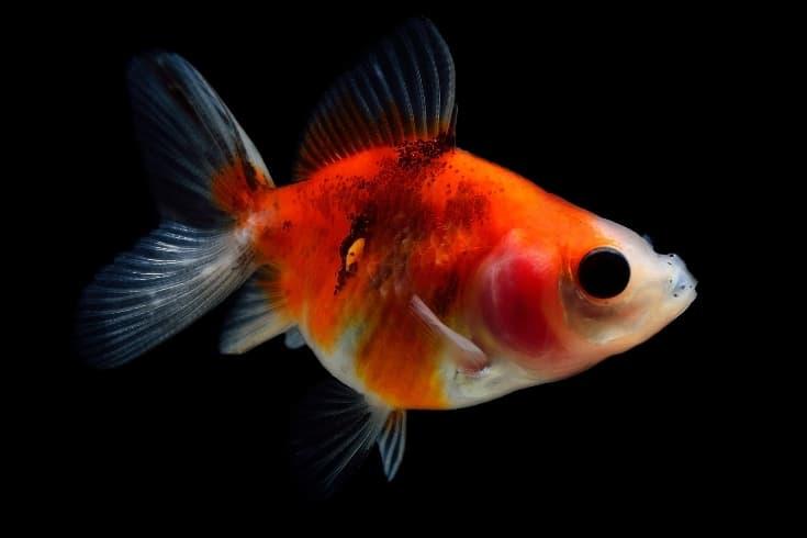 black spots on goldfish