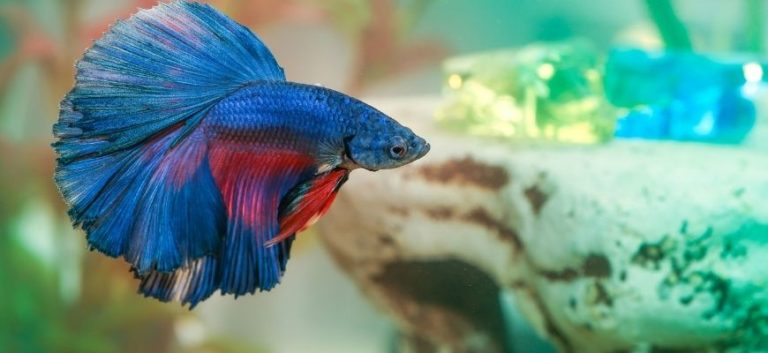 a betta fish blue and red color