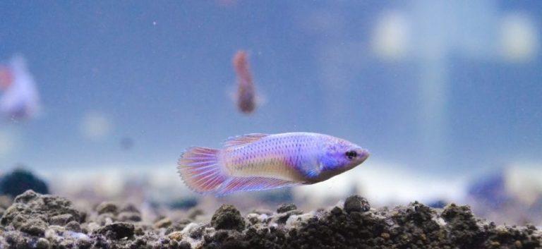 Baby betta fish in aquarium