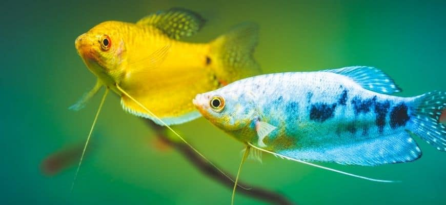 Gold and Blue Gourami
