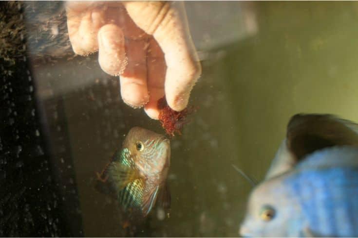 Feeding fish in aquarium