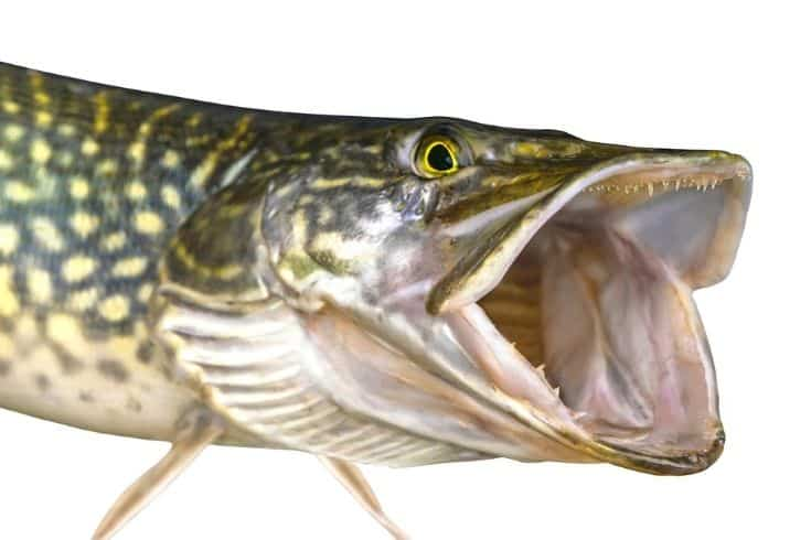 Pike fish isolated on white background. Head of trophy with open jaw with teeth