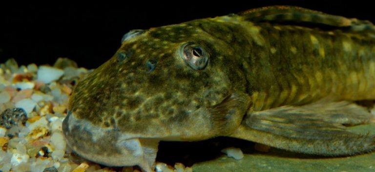 close up picture of a pleco