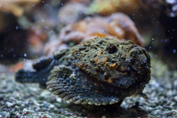 Reef stonefish (Synanceia verrucosa).