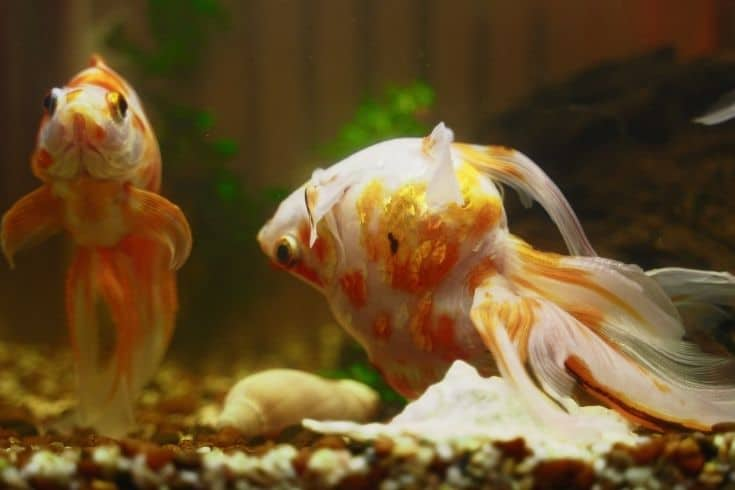 Sick goldfish swims upside down in aquarium.