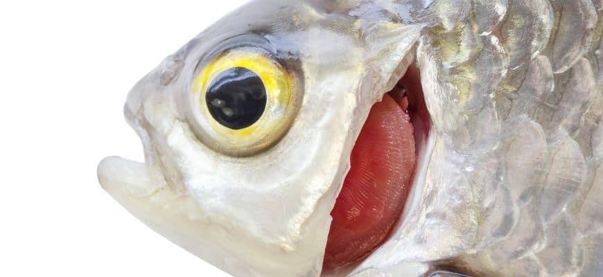 A close up of fish gills
