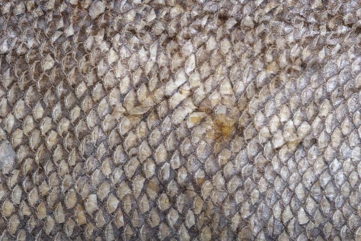 fish scales close up