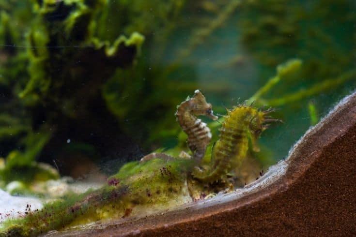 seahorse in aquarium