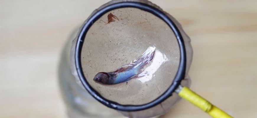 Dead betta fish on a fish net