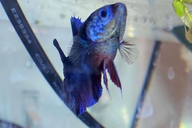 Velvet Disease on a blue fish