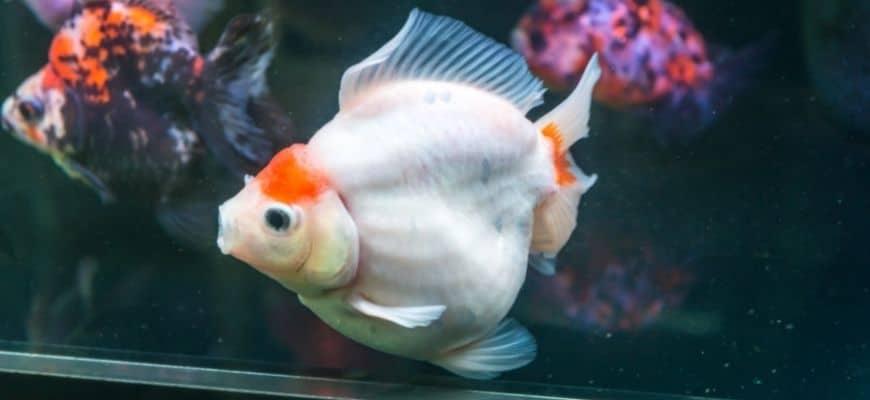 Red and White Japanese Goldfish